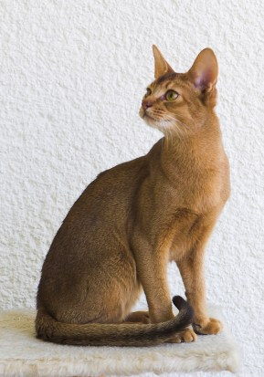 Gato Abissínio sentado