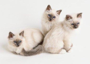 Gato Birmanês filhotes