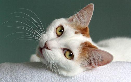 Gato Bobtail Japonês close