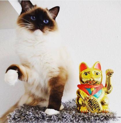 Gato Bobtail Japonês sorte