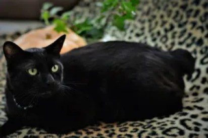 Gato Bobtail Japonês preto