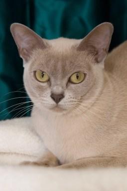 Gato Burmes lilás