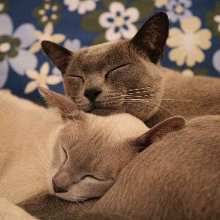 Gato Burmes dupla dormindo