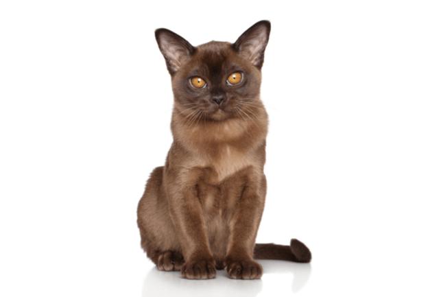 Gato Burmes sentado