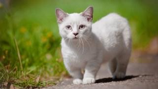 Gato Munchkin branco