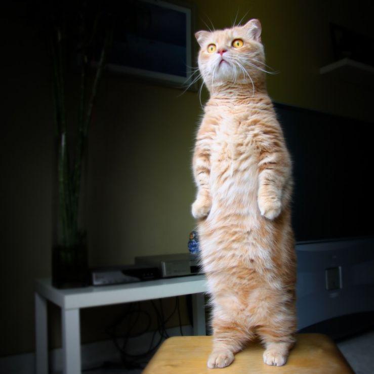 Gato Munchkin de pé