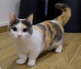 Gato Munchkin cálico