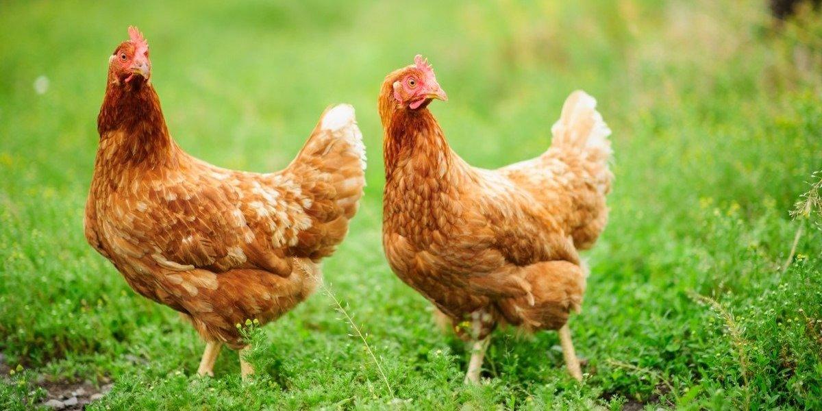 nomes de galinhas