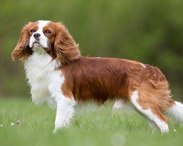 cachorro Cavalier King Charles Spaniel marrom