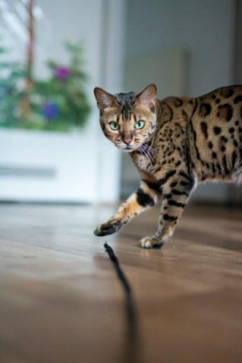 Gato Bengal olhar