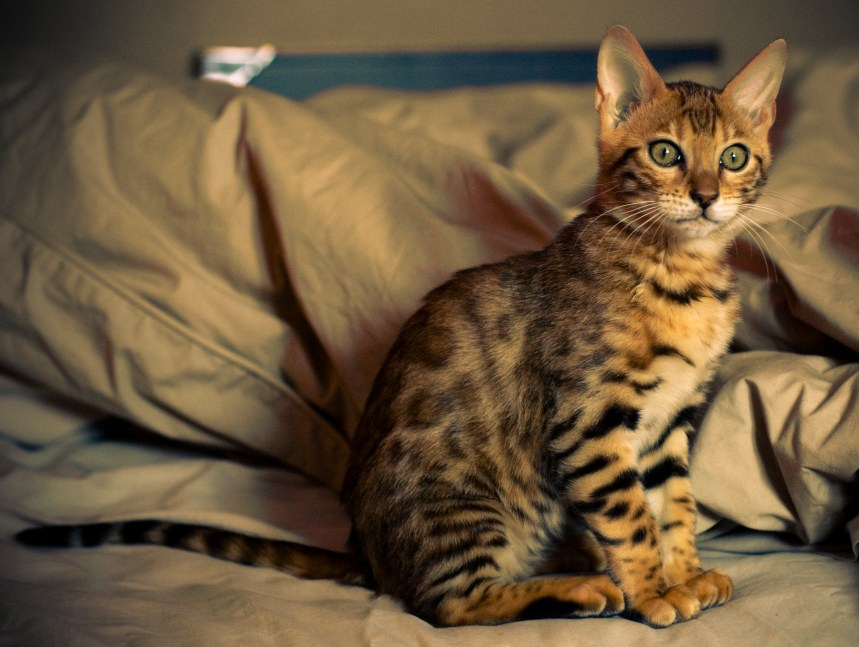Gato Bengal filhote sentado