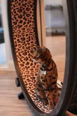 Gato Bengal luxo