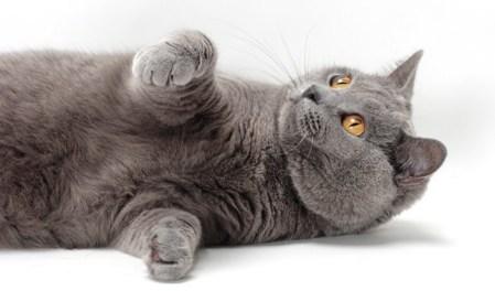 Gato Chartreux brincando