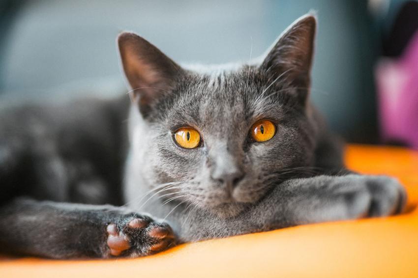 Gato Chartreux close
