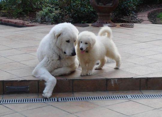 Kuvasz e um filhote