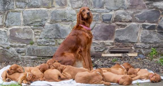 setter irlandes e filhotes a venda