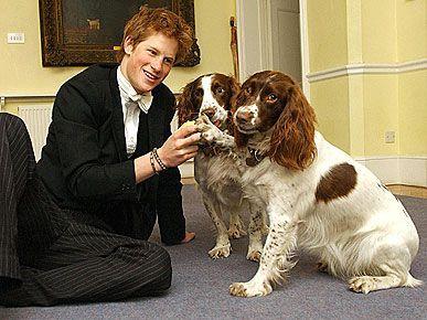 Principe Henry e dois Springer Spaniel Inglês