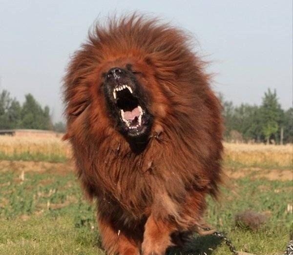 mastim tibetano se parece com leao bravo