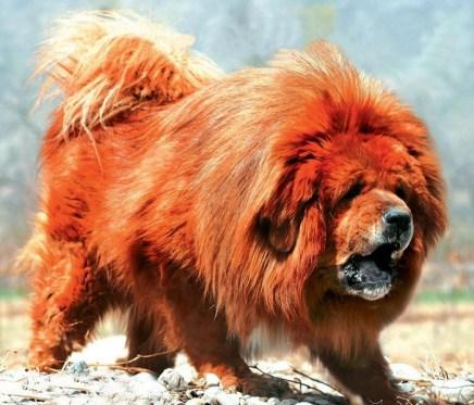 mastim tibetano se parece com leao