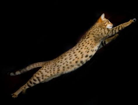 Gato Ashera em movimento