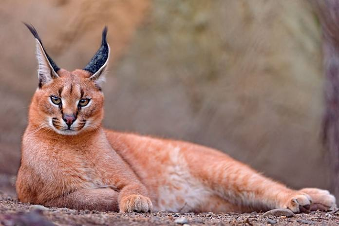 Gato Caracal laranja
