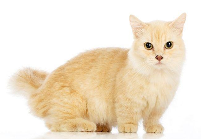 Gato Munchkin Amarelo claro