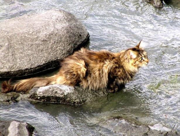 Gato Norueguês da Floresta natureza
