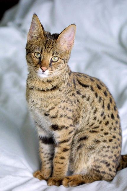 Gato Savannah olhar