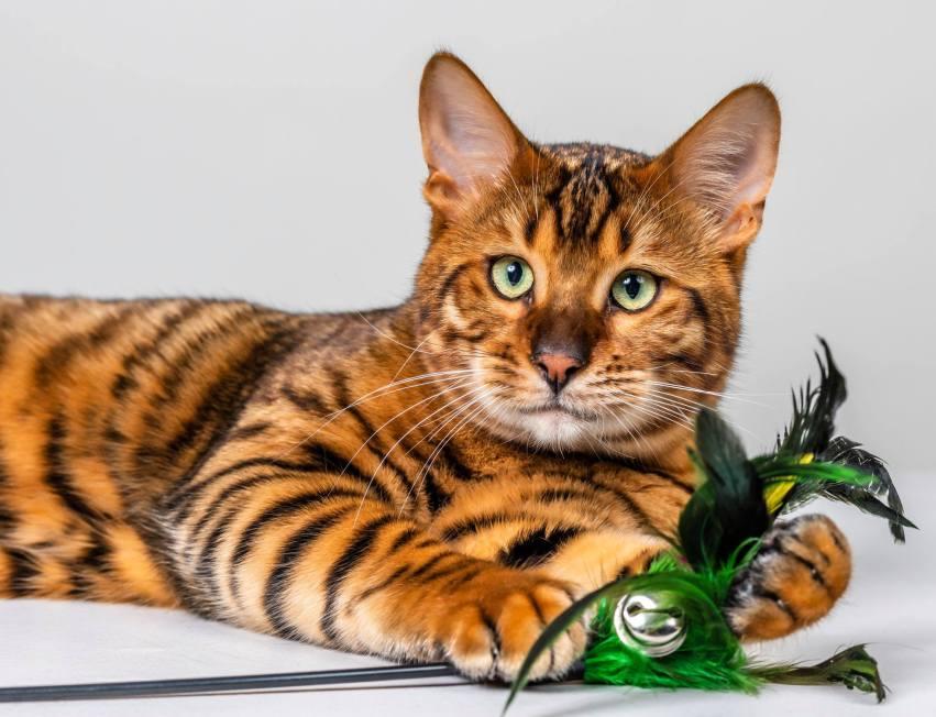Gato Toyger brincando