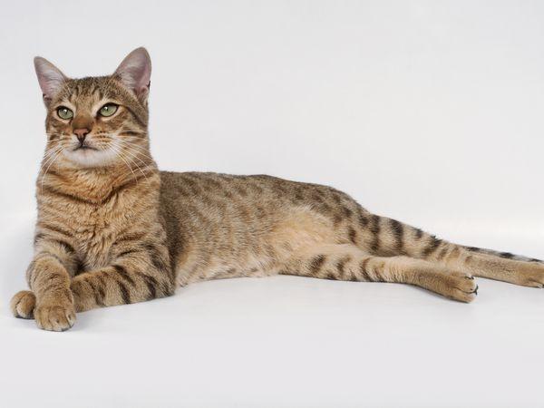 Gato Toyger cor clara