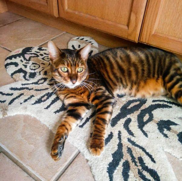 Gato Toyger deitado
