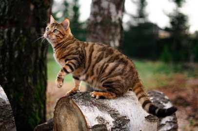 Gato Toyger natureza