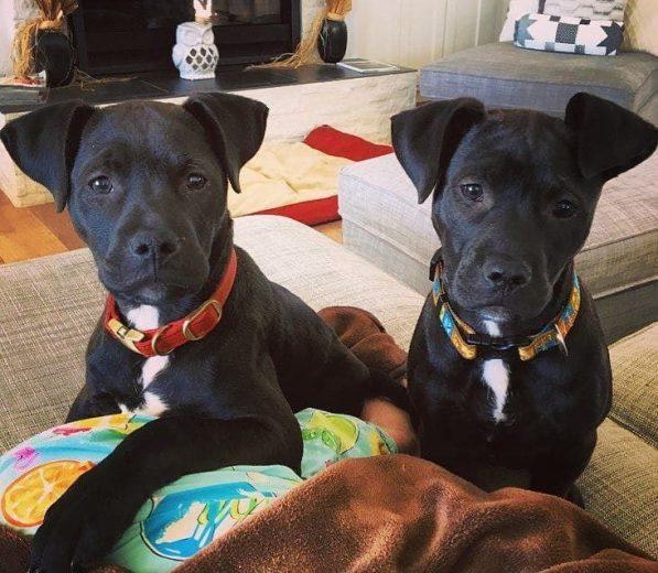 pitbull misturado com Labrador preto