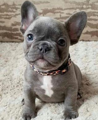 bulldog frances cinza