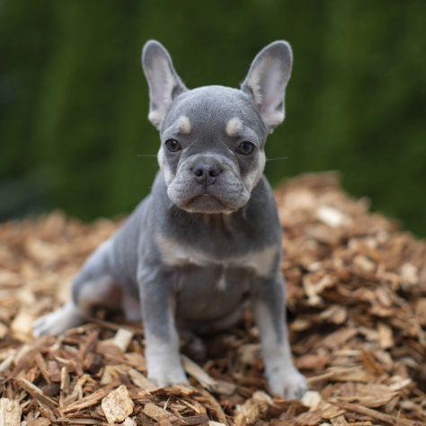 bulldog frances lilac ou lilas
