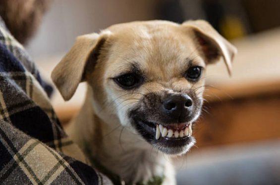cachorro rosnando por medo