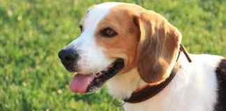 Beagle dog training