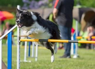 Dog enjoying agility training