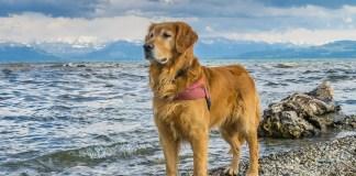 Dog Breed Golden Retriever Care