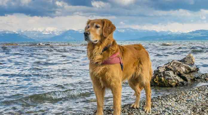 Dog Breed Golden Retriever Care