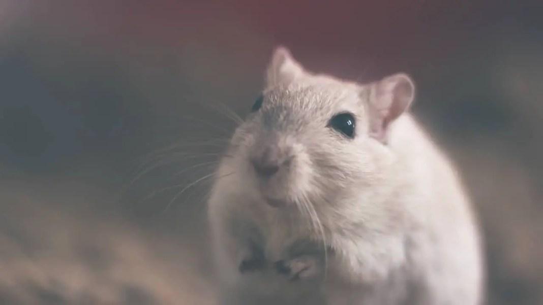 A healthy hamster