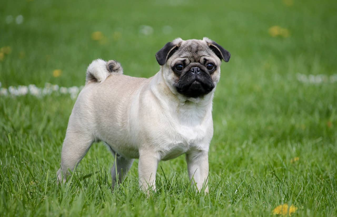 Pug Training Tips On How To Train A Pug