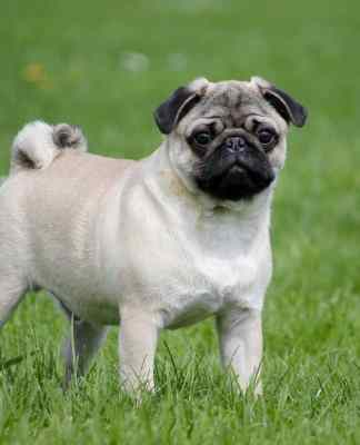 Pug dog training