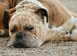 Dog lying down unwell