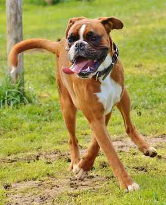 Boxer dog training