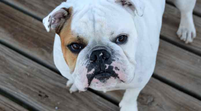 Caring for a bulldog