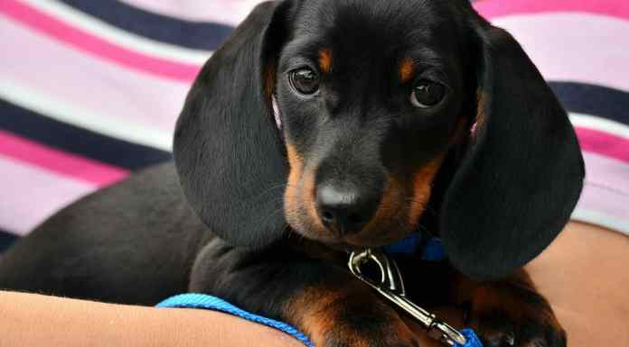Dachshund Breed Care