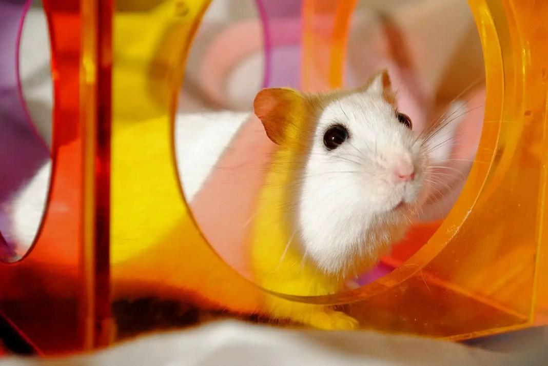 Healthy Hamster