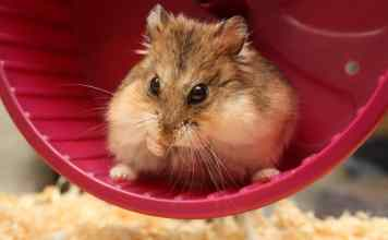 Hamster on his wheel