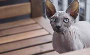 Sphinx cat at home